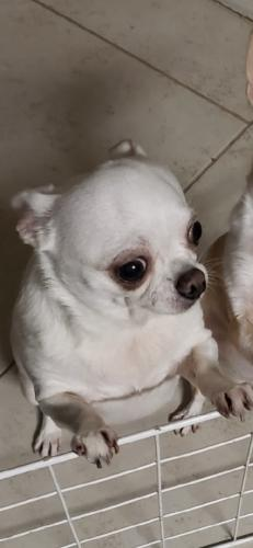 Lost Female Dog last seen Albany and Hyde Park, Houston, TX 77006