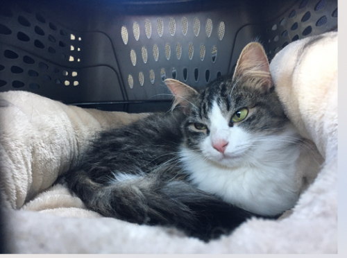 Found/Stray Female Cat last seen Buccaneer and Speedway, Los Angeles, CA 90292