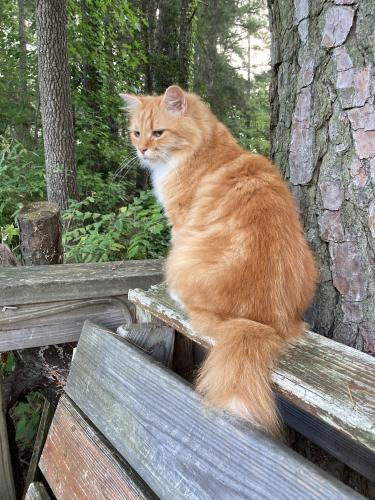 Lost Male Cat last seen Kings Grant Landing Townhomes, Virginia Beach, VA 23452