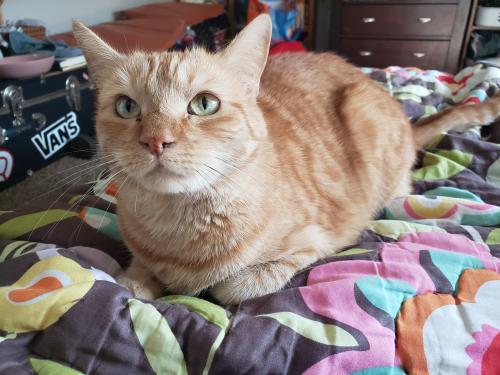 Lost Female Cat last seen 43rd ave and union Hills, Phoenix, AZ 85308