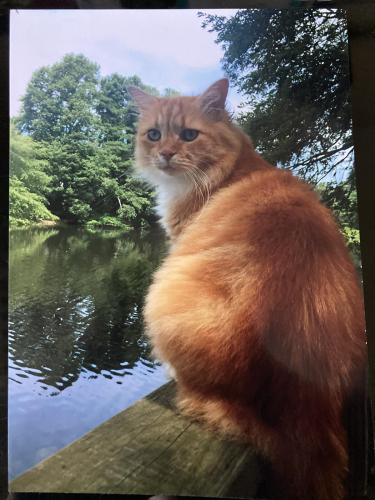 Lost Male Cat last seen Sir Wilfred Place, by Kingston Elementary , Virginia Beach, VA 23452