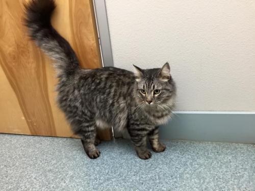 Lost Male Cat last seen Center street near Vandergriff park, Arlington, TX 76014