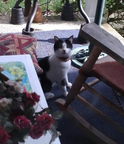 Found/Stray Unknown Cat last seen Land of promise and silvertown, Chesapeake, VA 23322