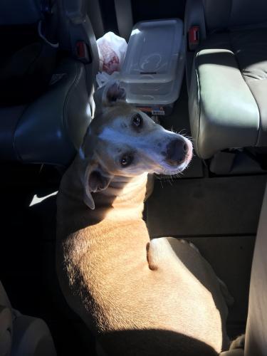 Found/Stray Female Dog last seen Marshall and 14th, Grand Prairie, TX 75051