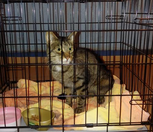 Found/Stray Male Cat last seen Nelson rd New Lenox near Jewel, New Lenox, IL 60451