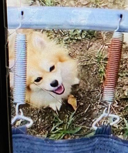 Lost Female Dog last seen Ramey avenue , Fort Worth, TX 76112