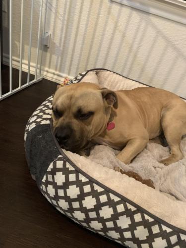 Found/Stray Male Dog last seen Main and East Vineyard rd , Arlington, TX 76018