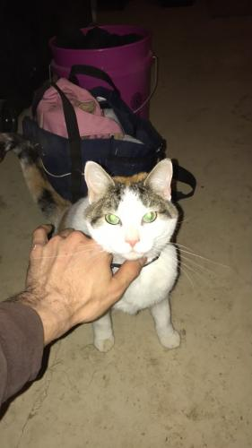 Lost Female Cat last seen Pauling Rd, Monee, IL 60449
