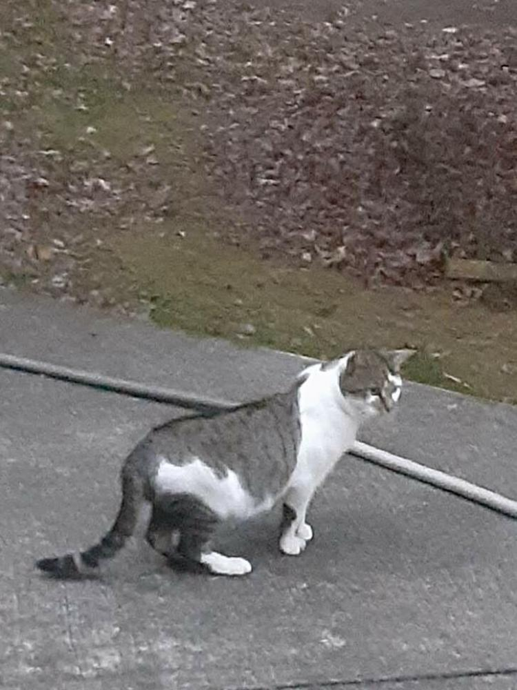 Found/Stray Unknown Cat last seen Oak Street and Gallows Road, Dunn Loring, VA 22027