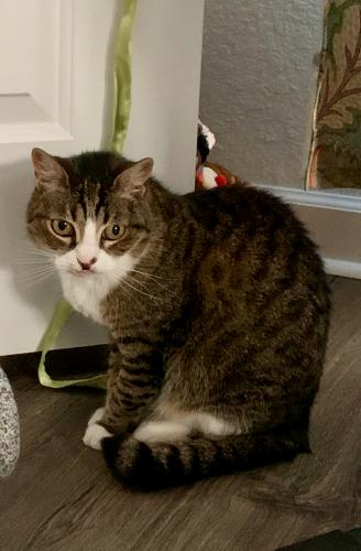Lost Female Cat last seen Buckingham St. and Jersey Ave., Norfolk, VA 23513