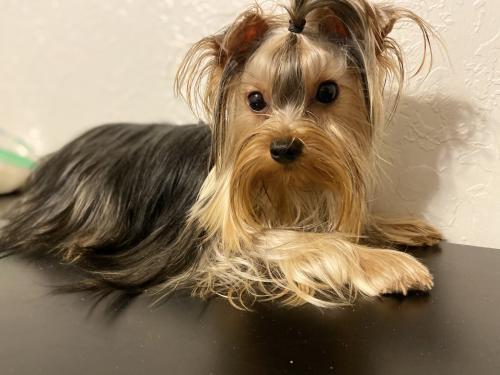 Lost Female Dog last seen County road 608, Johnson County, TX 76028