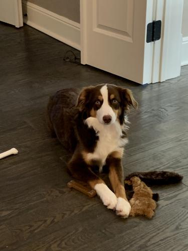 Lost Female Dog last seen Enid Drive and Blackshear Dr, Plano, TX 75093