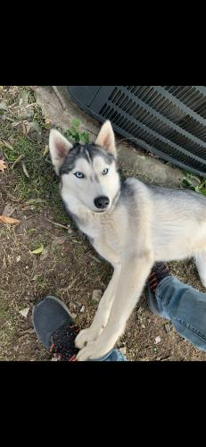 Lost Female Dog last seen Hutchinson and 30th st Fort Worth 76106, Fort Worth, TX 76106