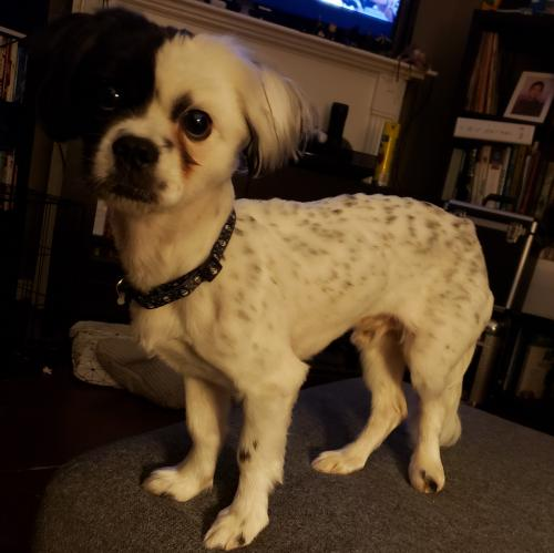 Lost Male Dog last seen Near Hollow Tree Dr, Arlington, TX 76018