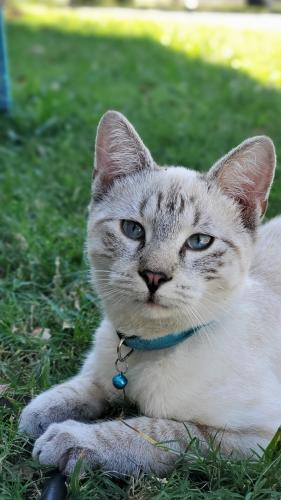 Lost Male Cat last seen Beltline and East 10th St, Grand Prairie, TX 75051