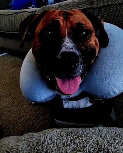 Lost Male Dog last seen Sherry street & Park Row, Arlington, TX 76010