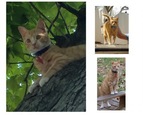 Lost Male Cat last seen Azalea Garden Rd & Norcova , Norfolk, VA 23513