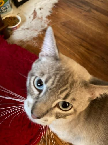 Found/Stray Male Cat last seen Bedford Euless Rd, Bedford, TX 76022
