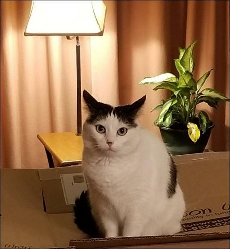Lost Female Cat last seen Cypress Green & Louetta, Cypress, TX 77429