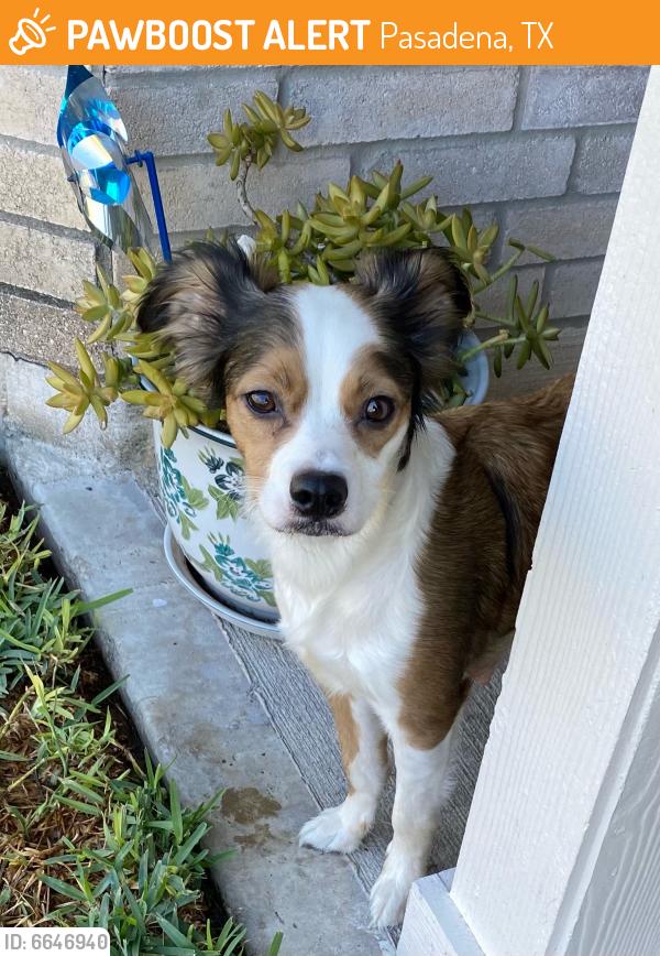 Found/Stray Female Dog last seen Strawberry and Sudbury, Pasadena, TX 77504