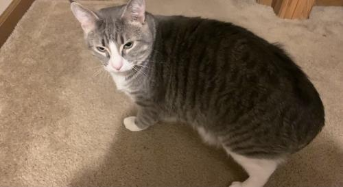 Lost Male Cat last seen 50th street nw Rochester, mn , Rochester, MN 55901