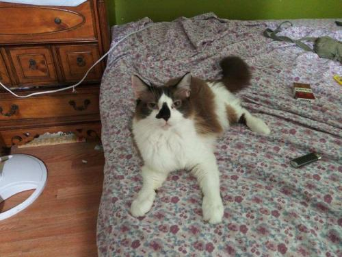Lost Male Cat last seen Near Indiana ave , Virginia Beach, VA 23454