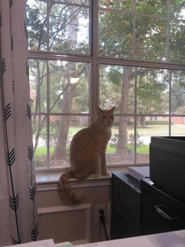 Lost Male Cat last seen Wimbledon Country, Tomball, TX 77375