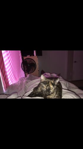 Lost Female Cat last seen 23rd Ave & Camelback rd, Phoenix, AZ 85015