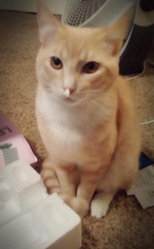 Lost Male Cat last seen Cypress Villas neighborhood , Spring, TX 77379