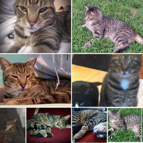 Lost Male Cat last seen Bound Brook Vet Clinic Union Ave and Beechwood Ave, Middlesex, NJ 08846