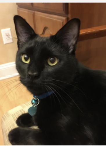 Lost Male Cat last seen Goose Creek Subdivision on Rail Court SW and Egret SW Shallotte NC , Shallotte, NC 28470