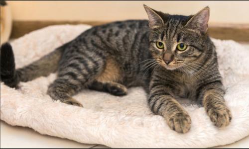Lost Female Cat last seen St. Marks Ave between Kingston Ave & Albany Ave, Brooklyn, NY 11213