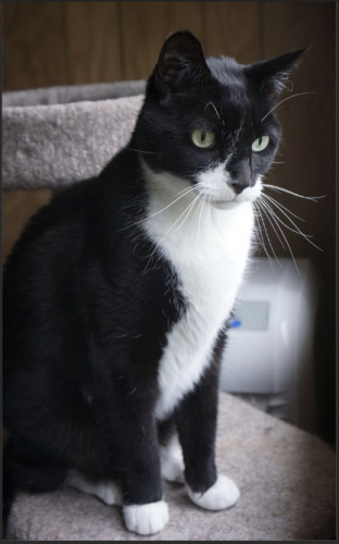 Lost Male Cat last seen St. Marks Ave between Kingston Ave & Albany Ave, Brooklyn, NY 11213