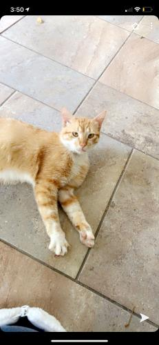 Lost Male Cat last seen Brownfields Dr. and Marburg dr, Houston, TX 77066