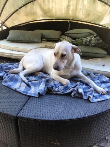 Found/Stray Female Dog last seen Schroeder Rd near Prestonwood Kennel , Houston, TX 77070