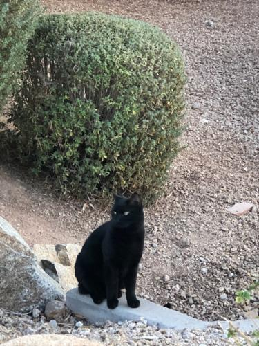 Found/Stray Male Cat last seen Country Club & Topeka in Westbrook Village, Peoria, AZ 85382