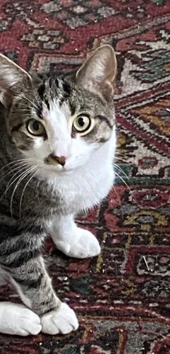 Lost Male Cat last seen Norview Farms, King of Prussia, PA 19406