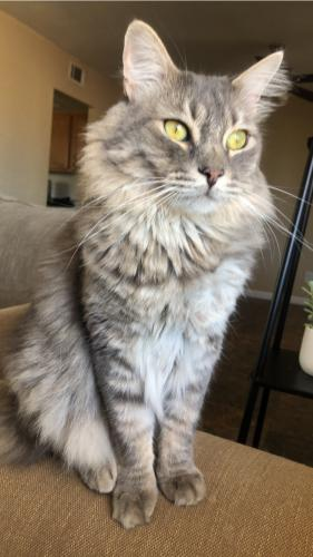 Lost Male Cat last seen 55th ave and Tierra Buena, Glendale, AZ 85306