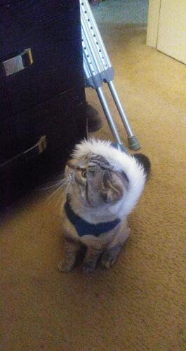 Lost Male Cat last seen Lynnhaven holland road..south clubhouse road va beach 23452, Virginia Beach, VA 23452