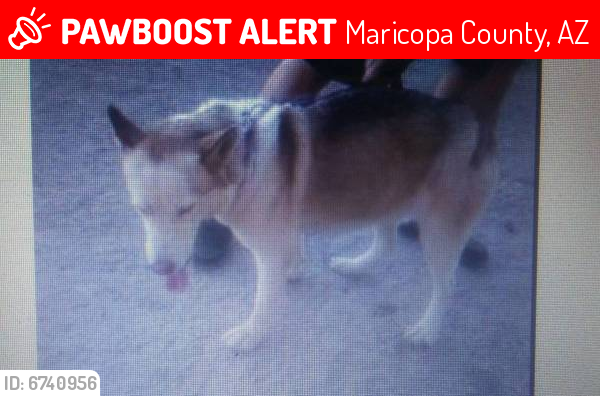 Lost Female Dog last seen Cris on and Apache Trail in East Mesa, Maricopa County, AZ 85208