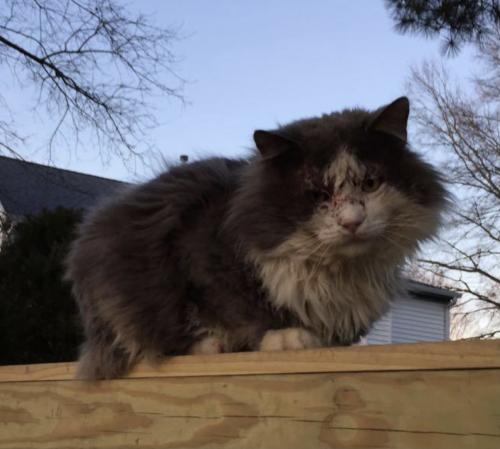 Found/Stray Male Cat last seen Butterfly Drive & Parker Rd, Chesapeaje, Chesapeake, VA 23322