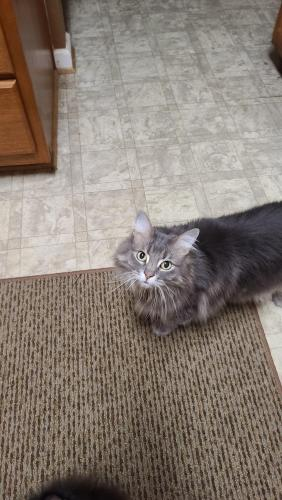Lost Female Cat last seen Clifton St, and Iorn clad court, Chesapeake, VA 23321