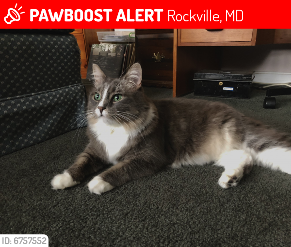 Lost Female Cat last seen the cul de sac on Manorvale Rd, Rockville, MD 20853