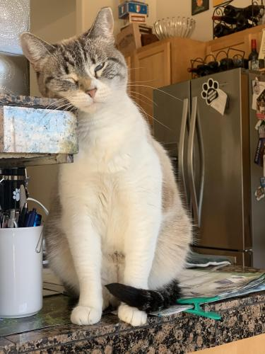 Lost Female Cat last seen 13th street and desert cove, Phoenix, AZ 85020
