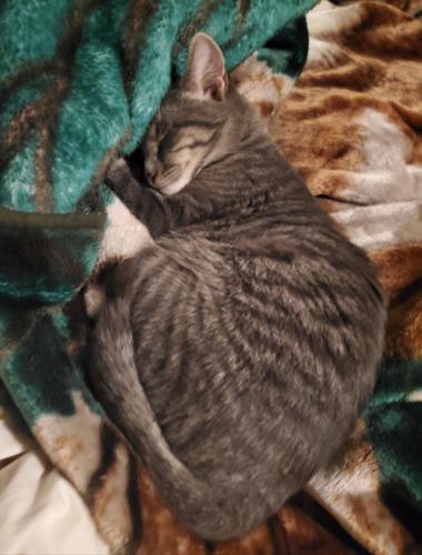 Lost Male Cat last seen Cedar Road & Santiago Court , Chesapeake, VA 23323