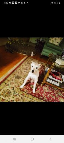 Lost Male Dog last seen North Spring Subdivision , Spring, TX 77373