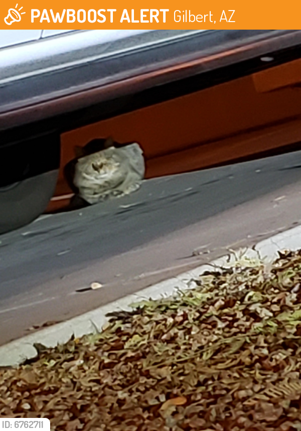 Found/Stray Unknown Cat last seen Baseline and Greenfield , Gilbert, AZ 85234