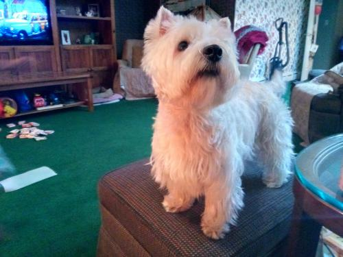 Lost Male Dog last seen Starbucks at W. Tropicana and Procyon Ave. by Budget Suites., Las Vegas, NV 89118