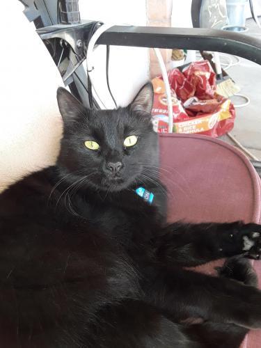 Lost Male Cat last seen Villa Nevada and Val Verde Cir , Litchfield Park, AZ 85340