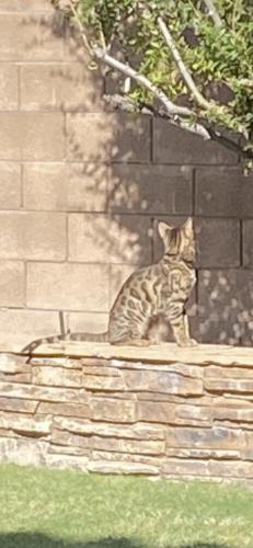 Lost Male Cat last seen 17th & Patrick , Phoenix, AZ 85024